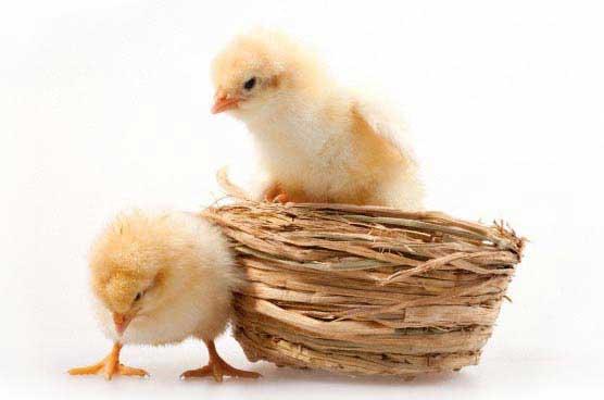 Construcción de Granjas Avícolas y Naves de Pollos de engorde Llave en Mano